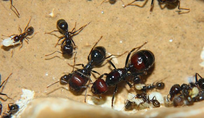 Муравьи жнецы - уход, питание, среда обитания и срок жизни 73