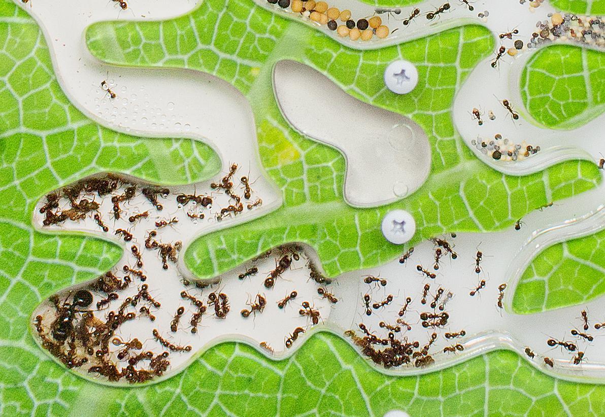 Как выращивать муравьев в домашних условиях?